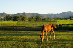 Horse eating grass in farmland Stock Photos
