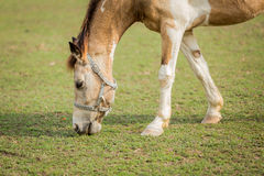 Horse eating grass on the field Stock Images