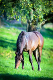 Horse eating grass in field. Brown horse eating grass near apple tree in field Stock Photography