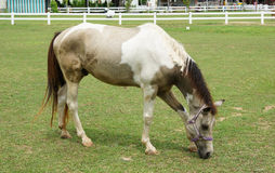 Horse eating grass on the field Stock Photo