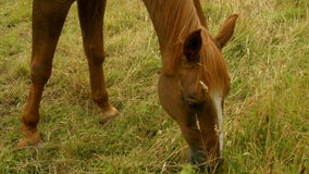 Horse eating grass in field stock footage
