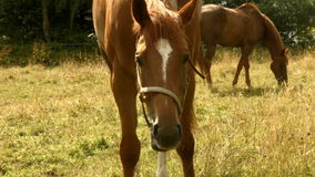 Horse eating grass in field stock video footage