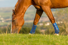 Horse eating grass in field Stock Photos