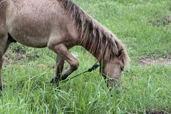 Horse eating grass in the fields. One Horse eating grass in the fields Stock Images