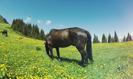Horse eating grass. On flowering grassland Royalty Free Stock Image