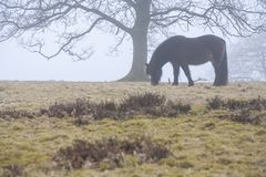 Horse eating grass in foggy landscape. Fog over landscape of wild icelandic horses eating grass under large tree in winter time Stock Images