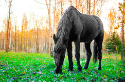 Horse eating grass in the forest, shallow DOF focus on eyes Stock Photography