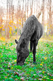 Horse eating grass in the forest, shallow DOF Stock Image