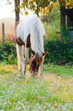 Horse eating grass in a garden in the morning Royalty Free Stock Photos