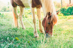 Horse eating grass in a gardens in the morning, photo is filtere Stock Photos