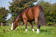 Horse eating grass. Horse grazing in a field wearing protective boots uk stock images