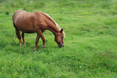 Horse eating grass on a green meadow Stock Photos