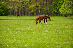 A horse eating the grass Stock Photography
