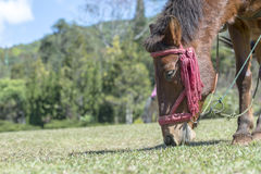 Horse eating grass. On the ground. Life in nature Stock Images