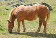 Horse eating the grass. An horse eating the grass Royalty Free Stock Photos
