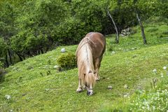 Horse eating grass. In field Stock Image