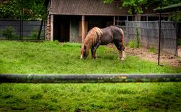 Horse Eating Grass. Horse Eating Grass on a Pasture. Farmland Animals Collection Royalty Free Stock Photo