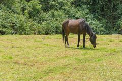 A horse eating grass royalty free stock photography