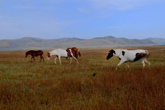 Horse eating grass. 2 horses walking in a meadows Stock Photo