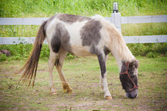 Horse is eating grass in a local farm Stock Images