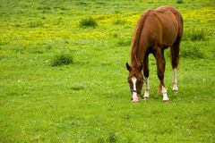 Horse eating grass on meadow Stock Images