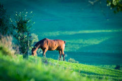 Horse eating grass in meadow Stock Images