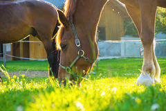 Horse eating grass in a meadow Stock Photography