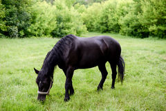 Horse eating grass in a meadow Royalty Free Stock Photography
