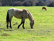 Horse eating grass meadow Stock Photo