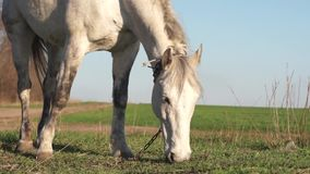 A horse is eating grass in a meadow. White horse eating grass close-up of an animal`s head on a green spring meadow in a village near a farmer stock footage