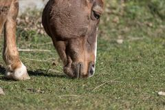 A horse eating grass. Natural environment Trentino country, Gresta Valley, Italy a horse eating grass Royalty Free Stock Image