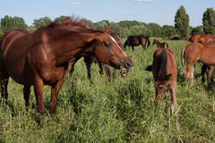 Horse eating. Grass, with other horses near it Royalty Free Stock Photos