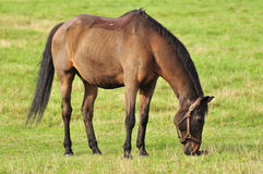 Horse eating grass in a pasture Stock Photo