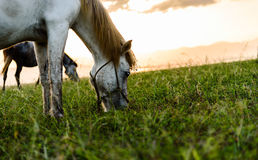 Horse eating grass. Horse on pasture at November evening near sunset Stock Images