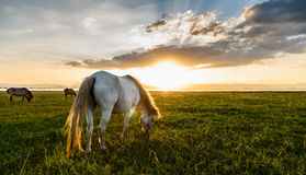 Horse eating grass Royalty Free Stock Photo
