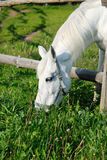 A horse eating grass in a pen. A close-up of a white horse eating grass Royalty Free Stock Photography