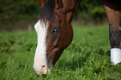 Horse eating grass. Portrait of a horse eating grass royalty free stock images
