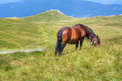 Horse eating grass on the prairie.  royalty free stock photo