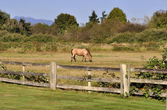 Horse eating grass in a ranch Royalty Free Stock Photo