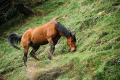 Horse Eating Grass In Spring Pasture. Horse Grazing On A Green M Royalty Free Stock Photography