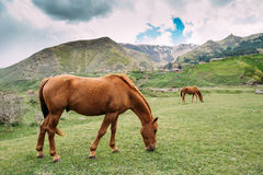 Horse Eating Grass In Spring Pasture. Horse Grazing On A Green Mountain Stock Images