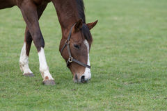 Horse Eating Grass. A stunning horse eating grass stock image