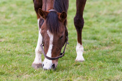 Horse Eating Grass. A stunning horse eating grass front on royalty free stock image