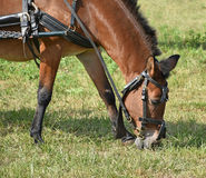 Horse is eating grass Stock Photography