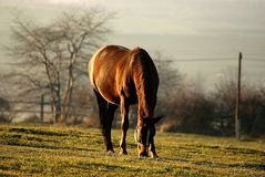 Horse eating grass in sunset light. Horse standing and earing grass on a field - grassland - at sunset, rolling hills and farmland in the background Royalty Free Stock Photos