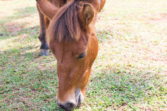 Horse eating grass Stock Images
