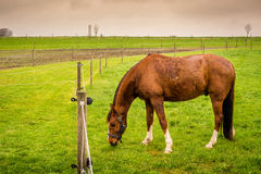 Horse eating green grass Royalty Free Stock Photo