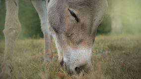Nice horse eating green grass, head closeup royalty free stock photo