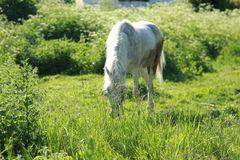 Horse eating green grass. In a small village Royalty Free Stock Images