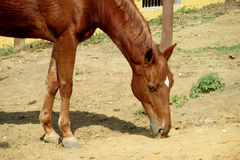 Horse eating on the ground Royalty Free Stock Image